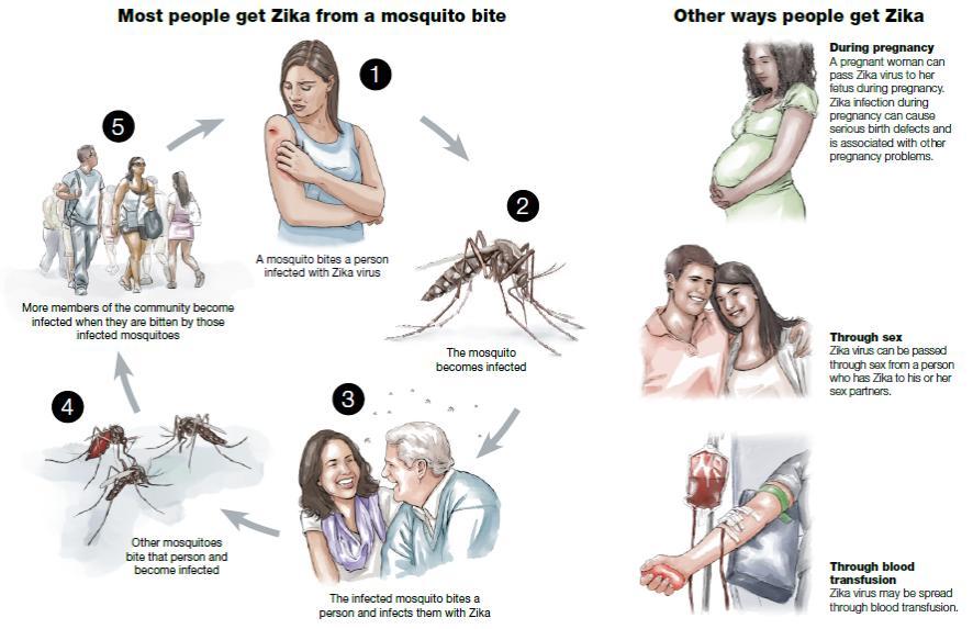 ไวรัสซิกาเป็นไวรัสในตระกูลฟลาวิไวรัส (Flavivirus)