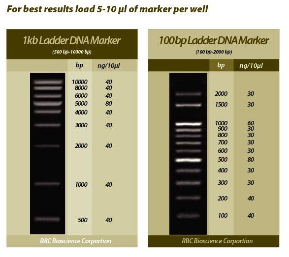 100bp Dna Ladder 100bp Laddertakara Ladder 点力图库