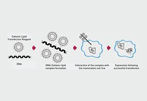 Lipofectamine™ Transfection reagent