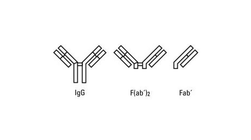ความแตกต่างระหว่าง Whole Antibody และ Fragments Antibody ของ Secondary Antibody