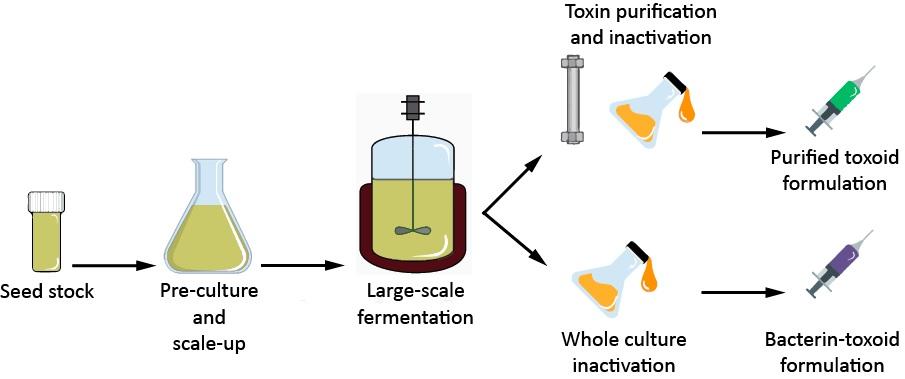 กระบวนการผลิตวัคซีน/สารพิษจากเชื้อ Clostidium botulinum ด้วยกระบวนการหมัก (Fermentation)