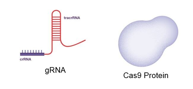 Genome Editing by Cas9 protein format